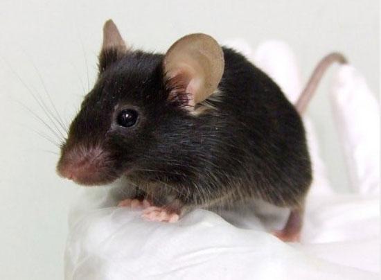 japoneses crean gen ticamente a un rat n que canta. Black Bedroom Furniture Sets. Home Design Ideas